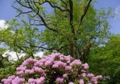 07-schlossgarten-rhodo-vor-schwarznuss