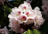 23-schlossgarten-fruehbluehende-rhodo-wildart