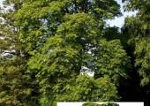 goetterbaum-mit-einfuegung-500