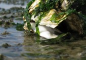 Liegende Auster Foto: Gerke Ennen